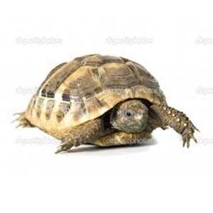 slow tortoise